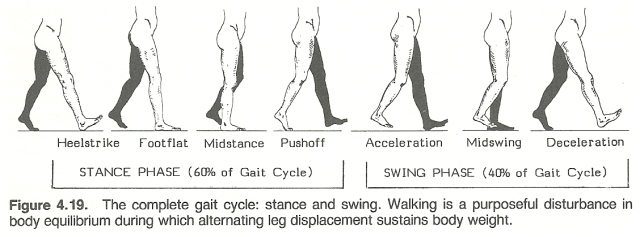 Gait Cycle. Clinical Biomechanics: Musculoskeletal Actions and Reactions, R. C. Schafer
