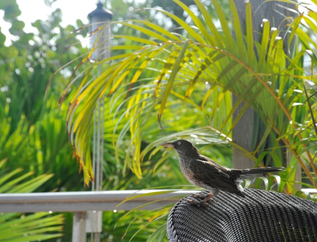 Pearly-eyed Thrasher at Caneel Bay