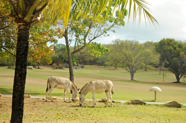 Wild donkeys at Caneel Bay