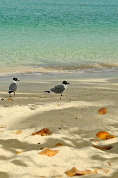 Seagulls by Caneel Beach