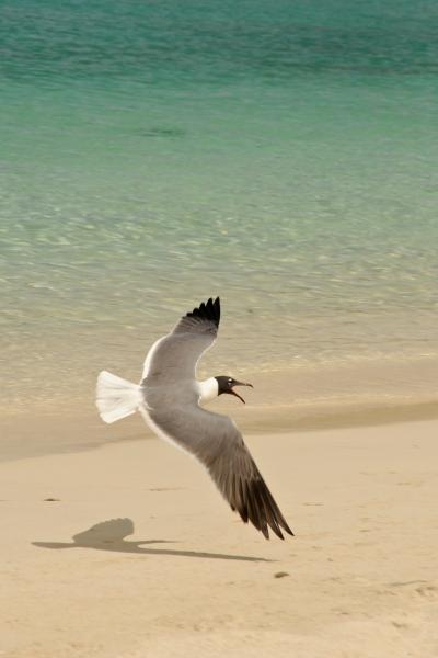 Seagulls by Caneel Beach