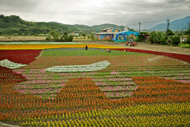 Farmers paint a picture of a water buffalo using flowers at FuLi Town by the Huatung Highway