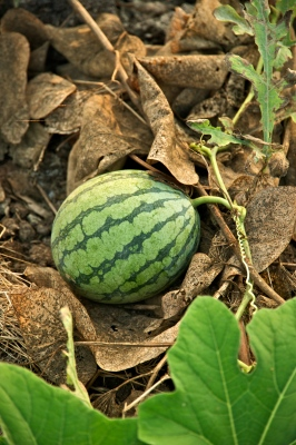 Watermelon at a Tainan City Organic Farm