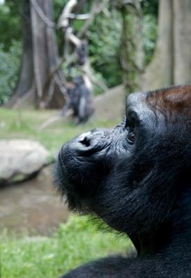 Thinker Western Lowland Gorilla