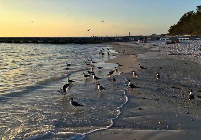 Cortez Beach Seagulls at Sunset