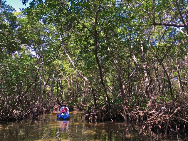 Navigating the red mangrove tunnel