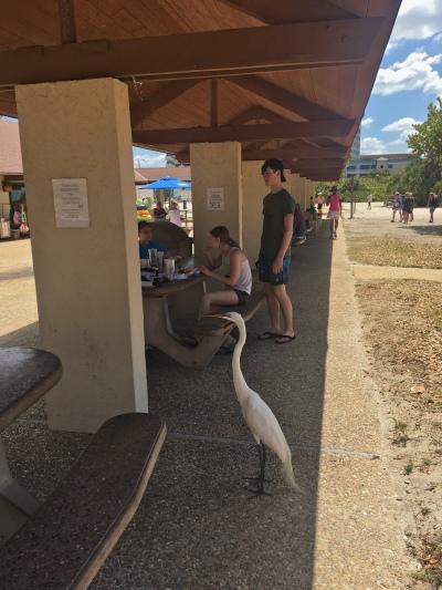 Snowy Egret at Lido Beach Pavilion