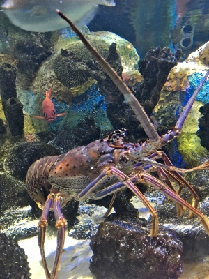 Spiny Lobster at Mote Marine Laboratory and Aquarium