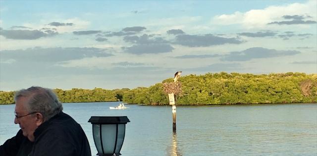 Osprey landing at its Nest