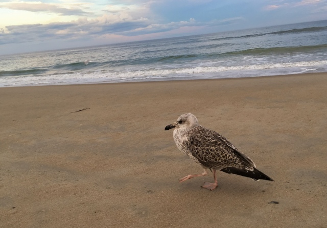 Juvenile great black-backed gull at Ogunquit Beach