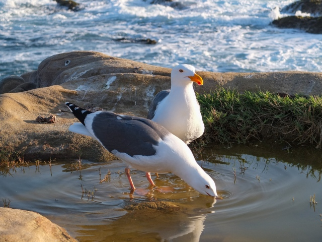 Western gull at Point Lobos, Monterey County